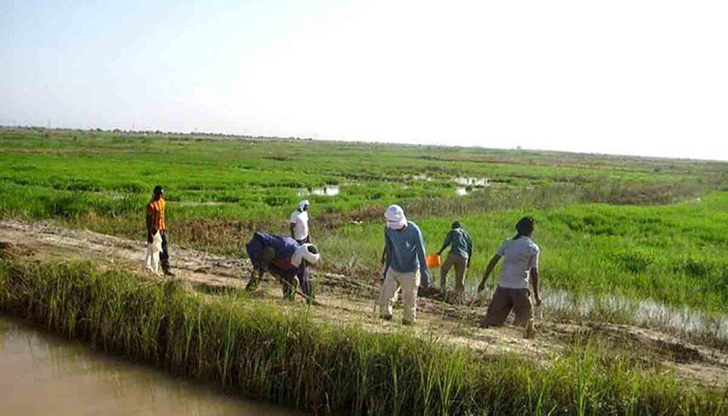 Le Trarza couvre 70% des besoins en riz du pays